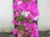 Bougainvillea sensetion 1