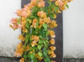 Bougainvillea sensetion 2