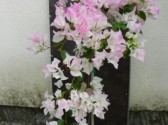 Bougainvillea sensetion 3