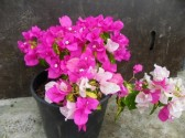 Bougainvillea_sensetion_pink-white_clt_3