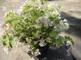 Bougainvillea_sensetion_white_top_clt_35__50-60_Qcm