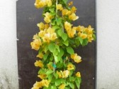 Bougainvillea_sensetion_yellow_pyramid_clt_7,5