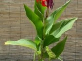 Canna_generalis__Red_