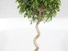 Ficus Exotica Spiral Extra
